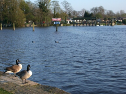 Geese and the Thames Shepperton